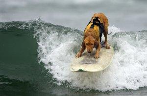 Surfer-Dude-Dog-703356