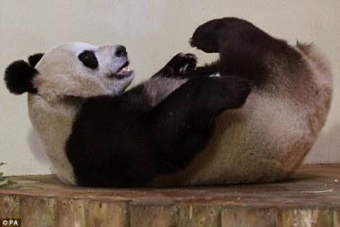 Giant Pandas Tian Tian Yang Guang celebrate first Christmas Edinburgh Zoo with extra helpings cake 4