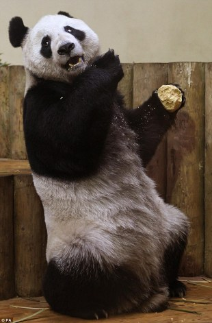 Giant Pandas Tian Tian Yang Guang celebrate first Christmas Edinburgh Zoo with extra helpings cake 7