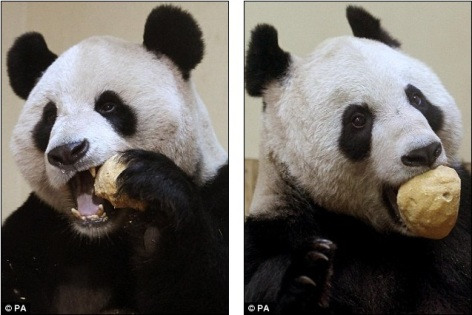Giant Pandas Tian Tian Yang Guang celebrate first Christmas Edinburgh Zoo with extra helpings cake 8
