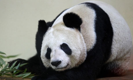 sweetie-the-panda