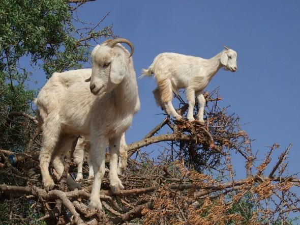 goat best