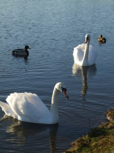 two swans swimming serenely